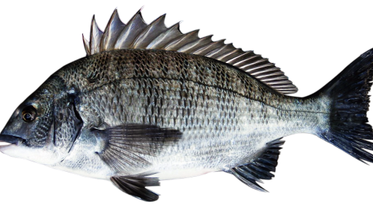 sea-bream-3409033_1280